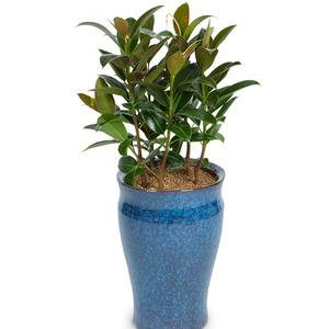 싱그러운 고무나무