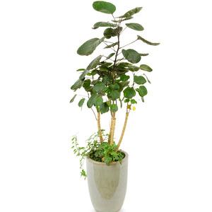 파비안느 (둥근잎 아랄리아)