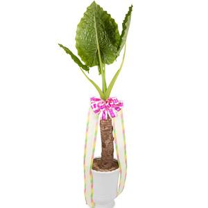 잎이매력적인 알로카시아