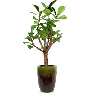 떡갈나무 원대