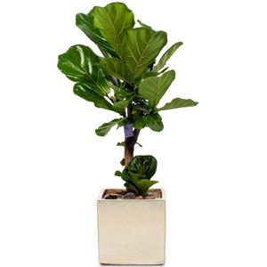 인테리어로예쁜 떡갈고무나무(약100cm)