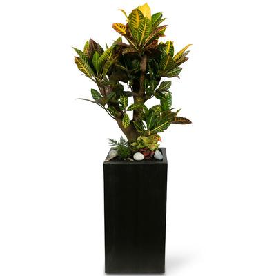 화려한잎의 가지목크로톤(약130cm)
