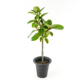 FF8107 뱅갈고무나무(중)