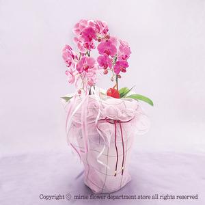 호접란 핑크