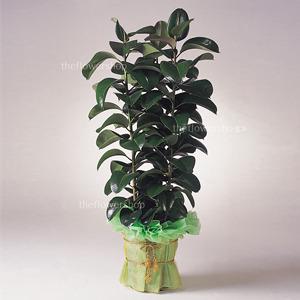 FN5513 쏘피아 고무나무