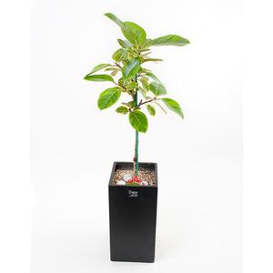 FN5717 뱅갈고무나무(중) 높이 90~95cm