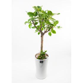 FN5719 뱅갈고무나무(대) 높이 155~160cm