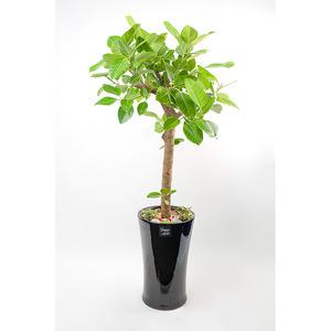 FN5720 뱅갈고무나무(대) 높이 150~155cm