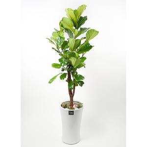 FN5724 떡갈고무나무(대) 높이 175~180cm